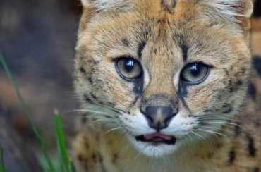 Servalkatze zoo hoyerswerda