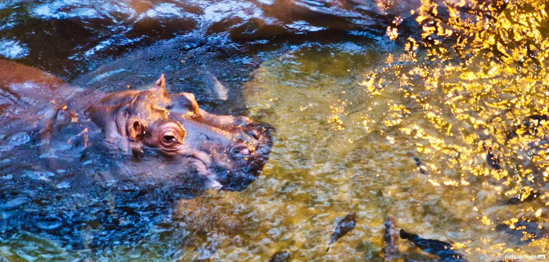 Afrykarium oceanarium zoo wroclaw nilpferd