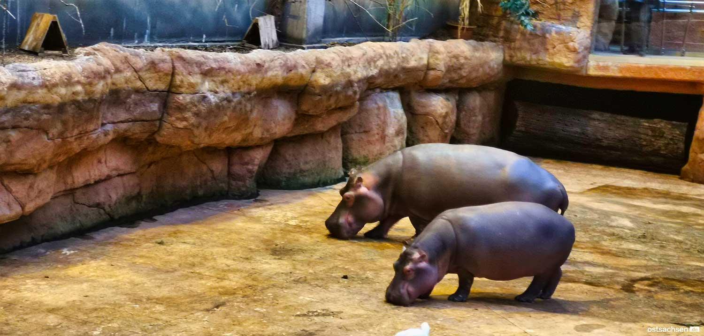 Afrykarium oceanarium zoo wroclaw nilpferde