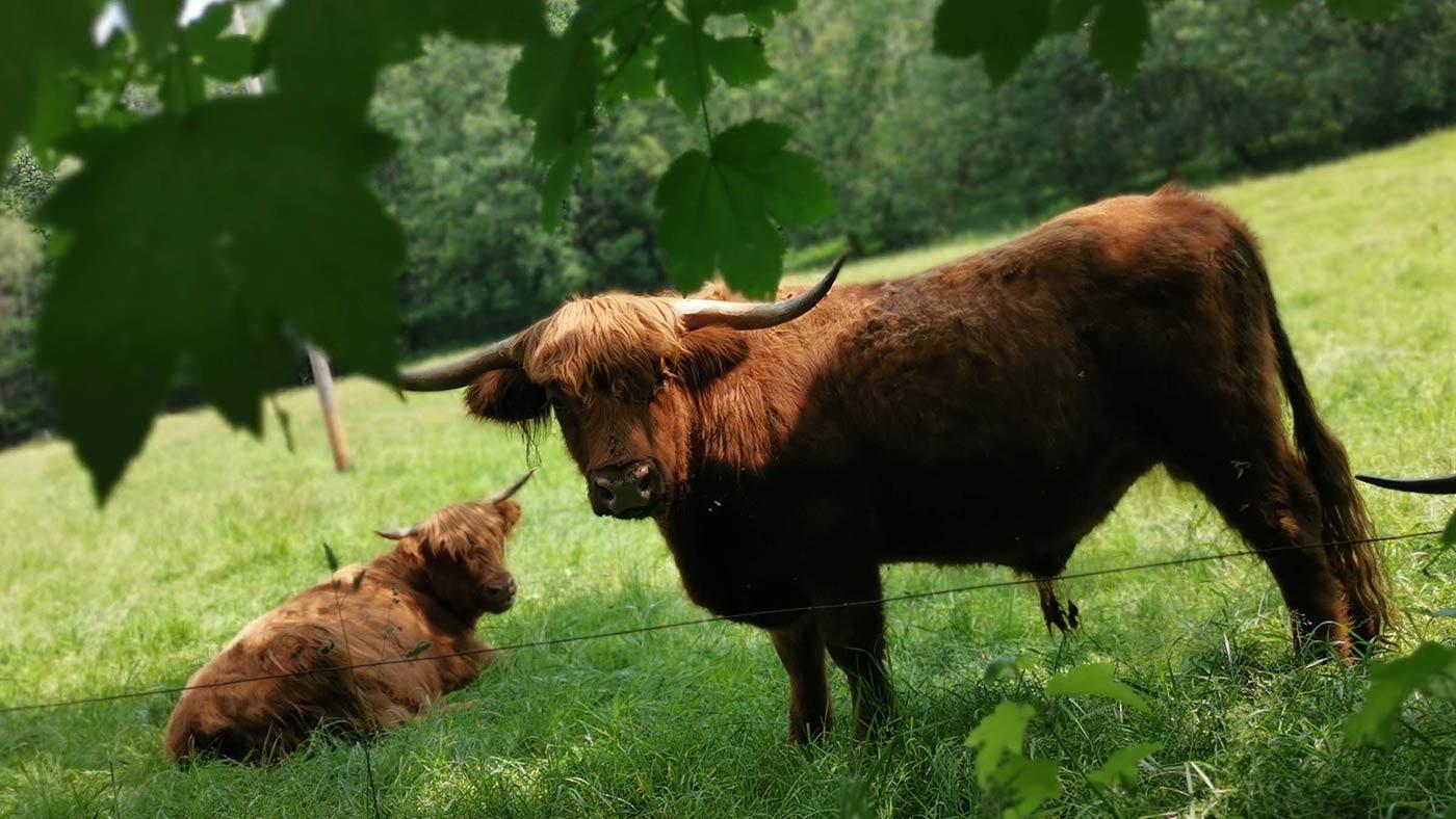 Rinder im Wald Koenigshain