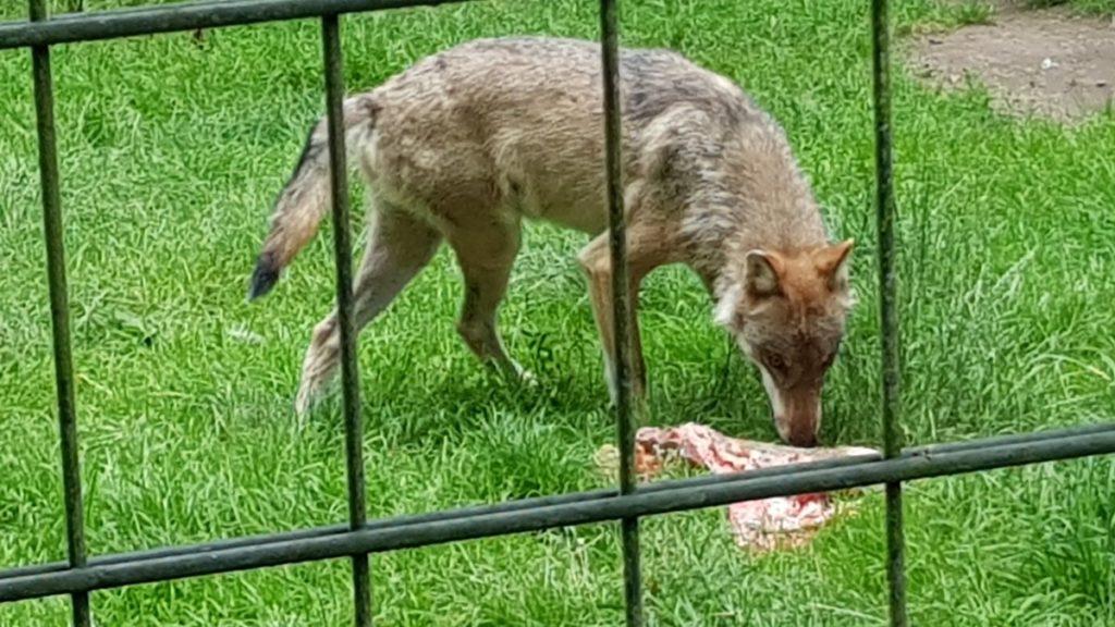 Wölfe im Wildgehege Moritzburg