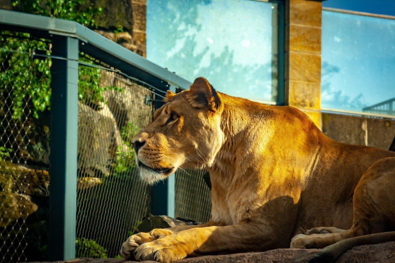 loewe im zoo dresden