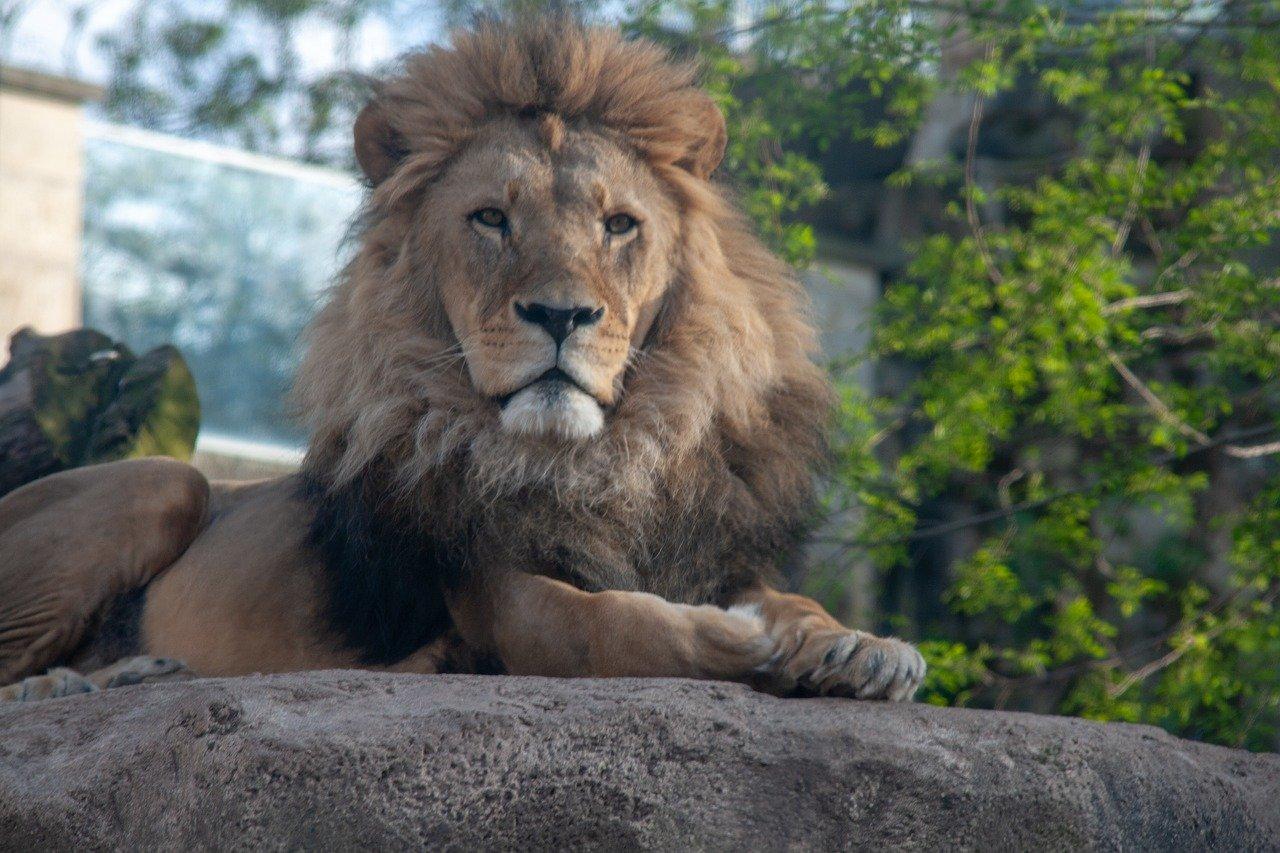 Löwe im Zoo Dresden